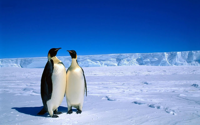 Wallpaper with a photo of twocuddling  penguins on a iceberg