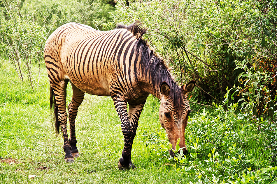Zebroid | The Biggest Animals Kingdom