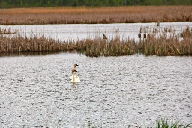 trumpeter swans at Carlos Avery WMA
