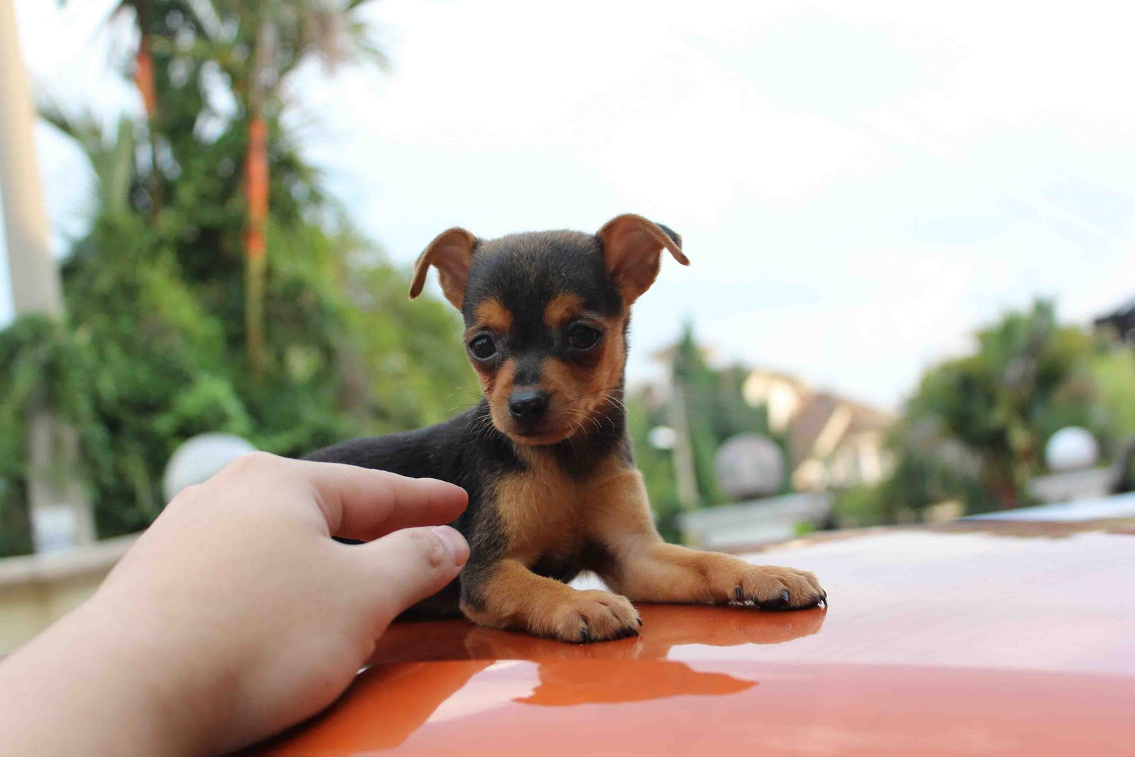 Piper, the Min Pin puppy at 3 ½ months old - m5x.eu