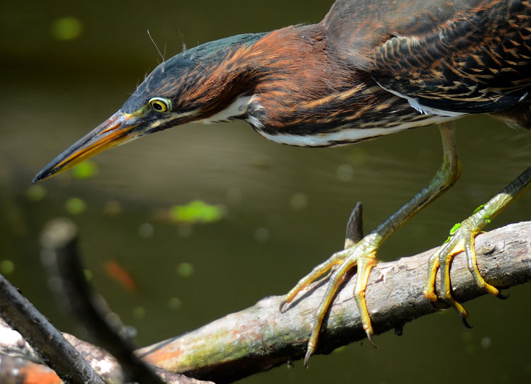 Juvenile Green Heron watches a fish and gets ready to catch it.