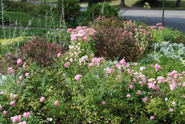The Hill Garden in September is full of roses again.