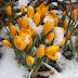 Colorful Yellow Tulips with Snow images wallpapers