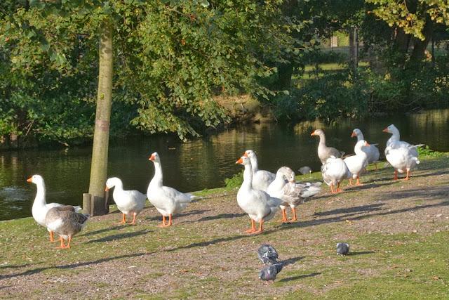 Modern The Hague geese