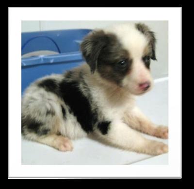 Cute Aussie Puppy Pictures