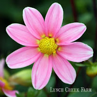 Dahlia Bonne Esperance, a one-inch mignon single.