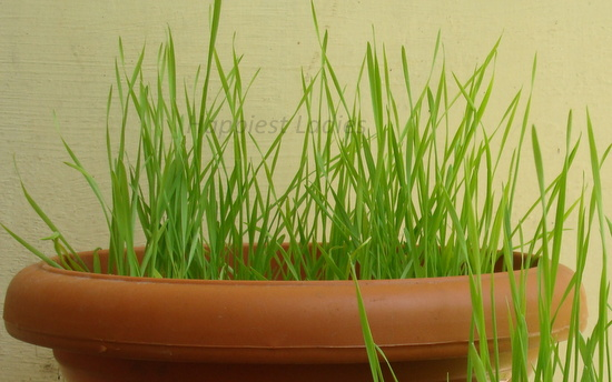 indoor grown wheatgrass