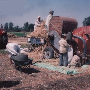 دراس القمح