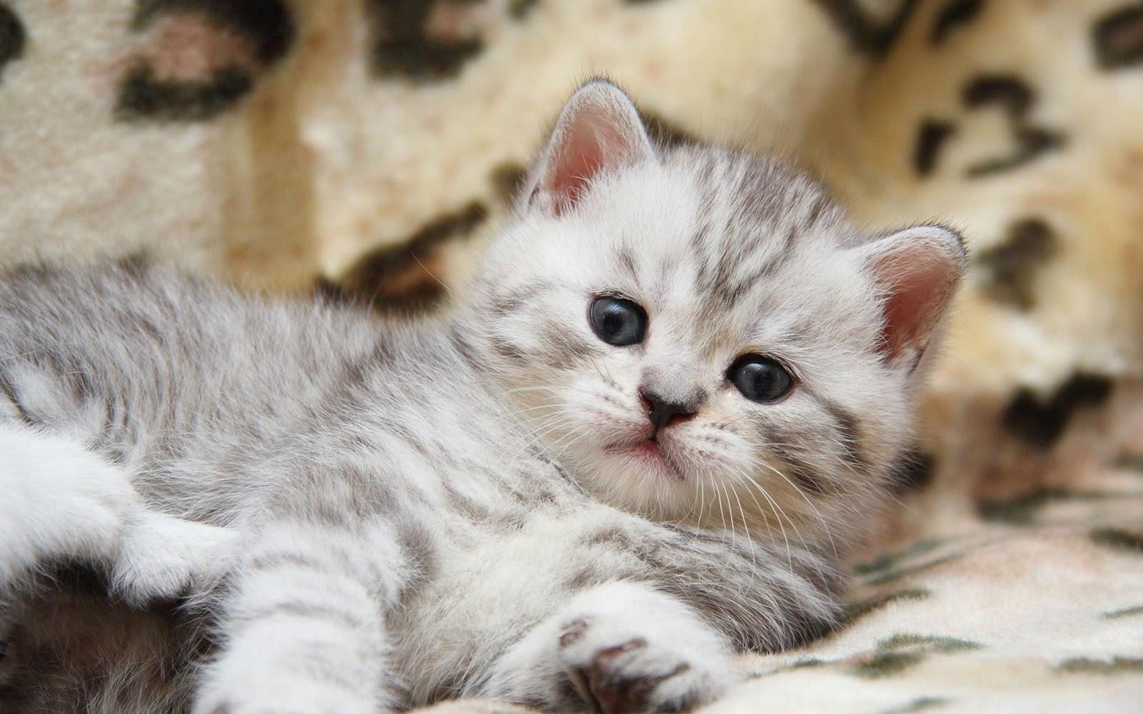 Muhammad nouman ali sheroz awais iqbal talha mohsin riaz cute cats wallpapers beautiful cats - Caterpillar wallpaper ...