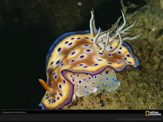 ikan hias penuh warna fullcolor : Nudibranch