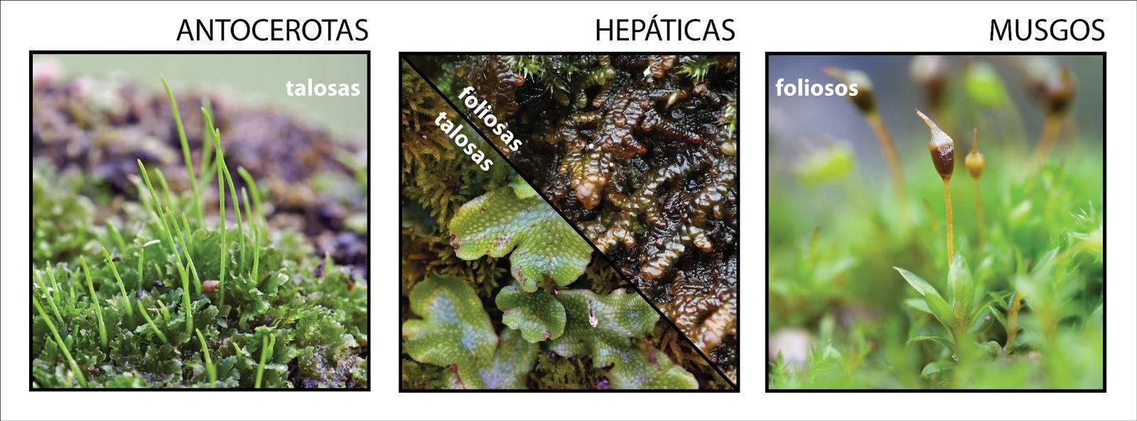 hepaticas talosasy antoceros, y entre hepaticas foliosas y musgos