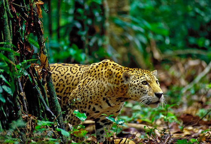 Image result for jaguar in amazon rainforest
