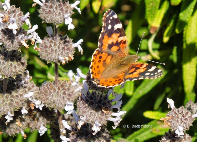 Painted Lady Butterfly © B. Radisavljevic