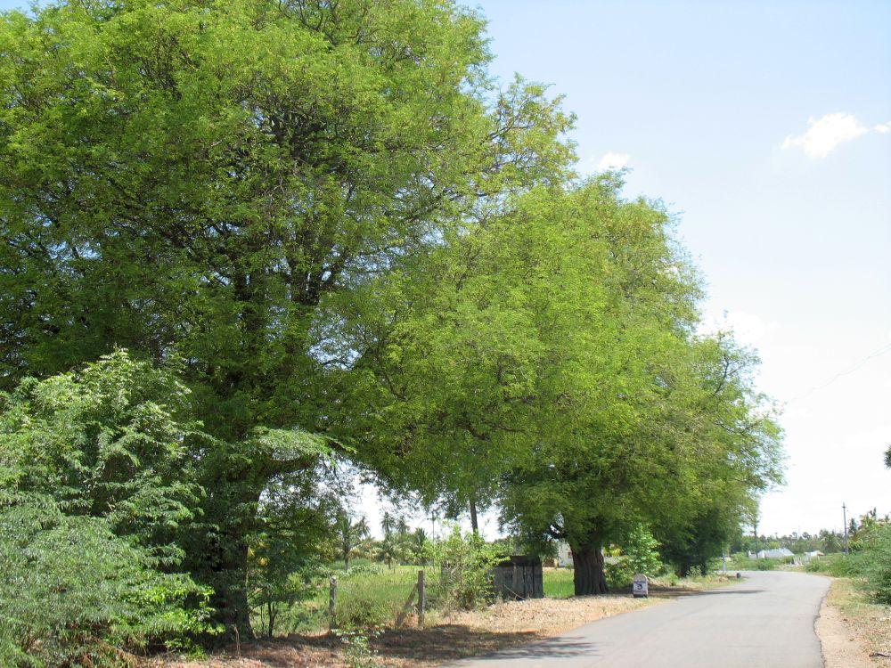 ARUNACHALA LAND: Tamarind Tree
