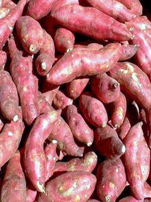 tatlı patates yetiştiriciliği