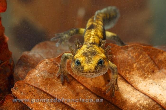 Juvenil de Salamandra común ( Salamandra salamandra)
