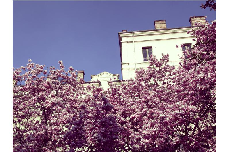 magnolia en fleur place des cordeliers annonay