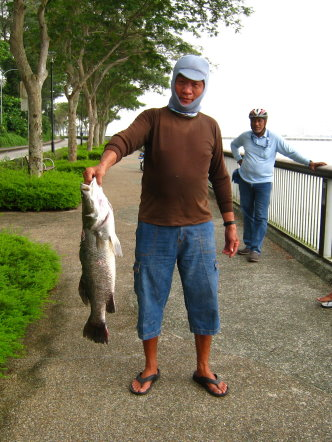 Luring for Barramundi also know as Kim Bak Lor 金目鲈 or Siakap weighing 4kg plus Caught by Ah Chai At Woodland Jetty.