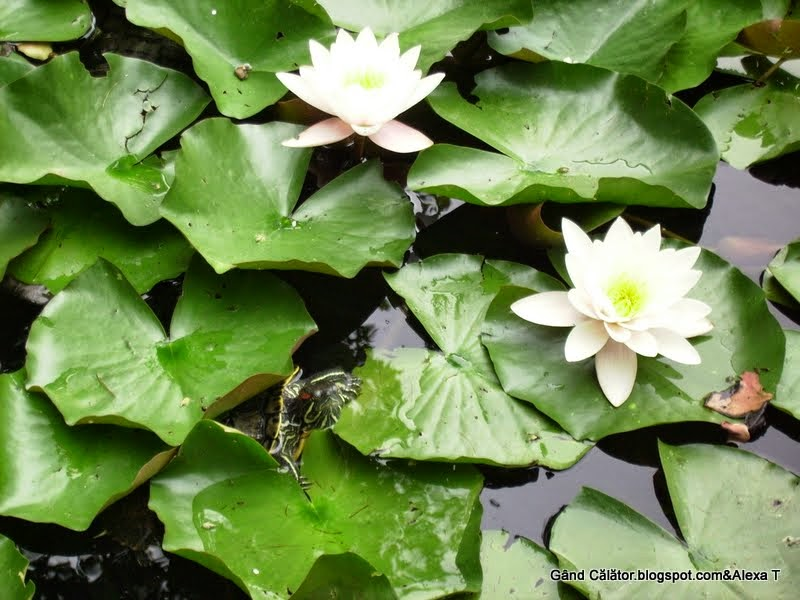 Nymphaea lotus var. thermalis and a turtle in macro.