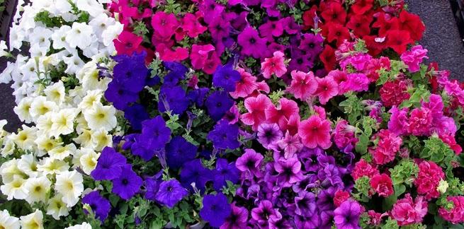 Arte y jardiner a plantas anuales y bienales grandes y - Arriate plantas ...