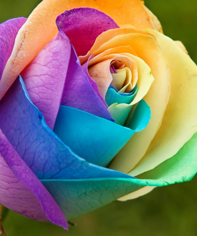 Gorgeous rainbow coloured stuff for What are rainbow roses