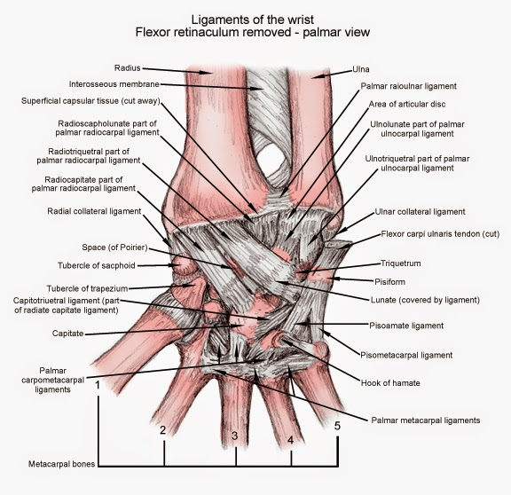 Anatomy and function of the Upper Limb - Part 1: the wrist and elbow