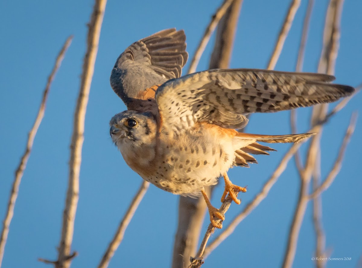 Kestrel in evening light