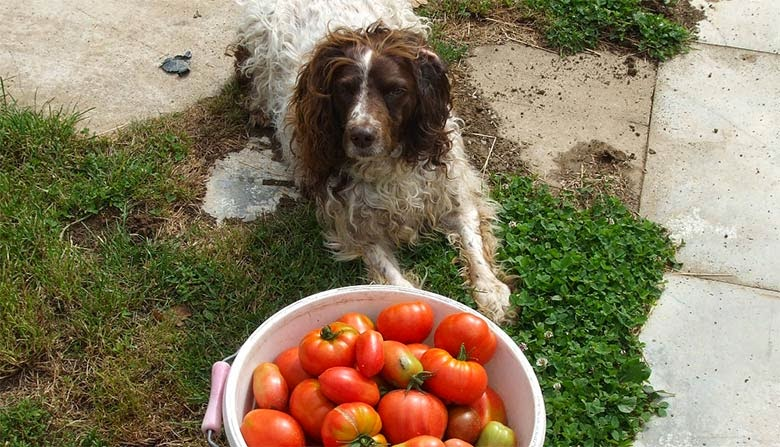 Cachorro pode comer tomate?