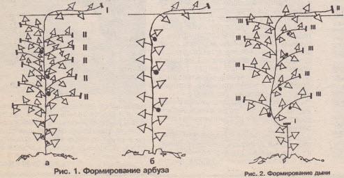 Схема формировки арбузов и