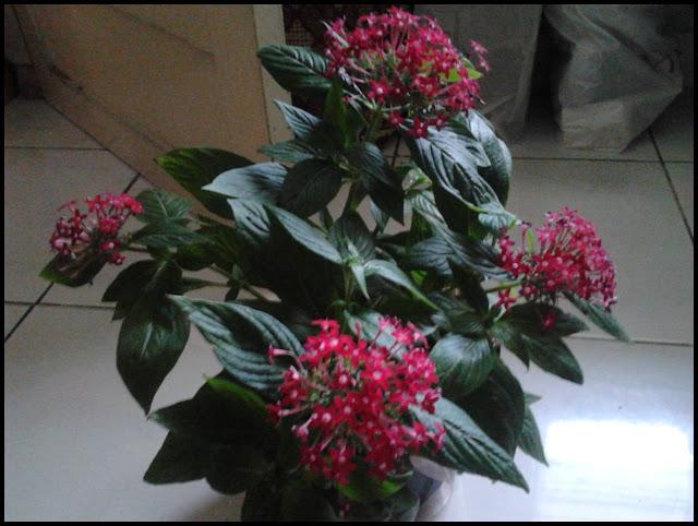 Bunga pleus potnya beli di daerah deket Lembang sana (Jl Sersan Bajuri  Bandung). kalau mau cari yang spesialisasi bunga coba agak ke atas ya..  kanan kiri ... 05c0706d67