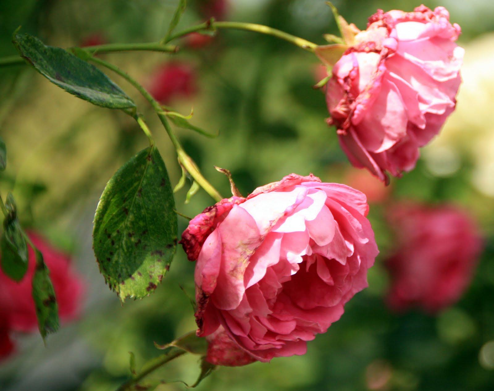 Lad Romantikken Blomstre