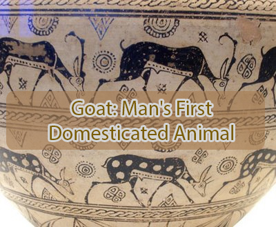 Goat: Man's first domesticated animal