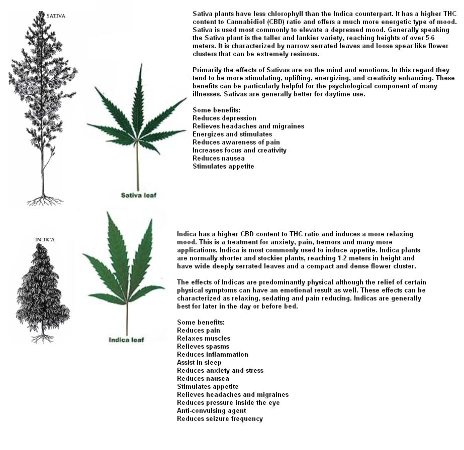 an analysis of the effects of canabis sativa Statistical analysis: micropropagation system for cloning of cannabis sativa 605 the effects of environmental and medium.