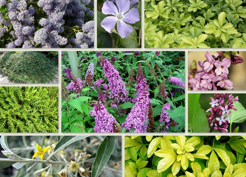 Luis moreno garden designer in fulham planting guide shrubs - Cotoneaster dammeri green carpet ...