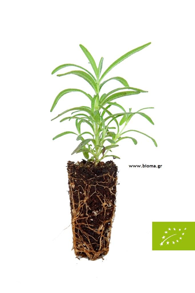 Organic herbs plants
