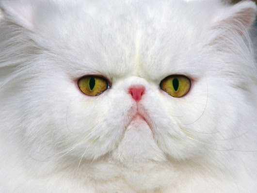 Foto kucing persia @ Digaleri.com