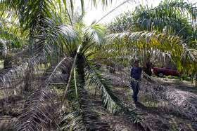 palma africana,Olanchito,Saba, Valle Aguan