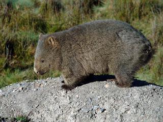 wombat comun Vombatus ursinus