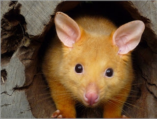 Golden Brushtail Possums