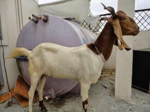 Beautiful Bakra Eid Goats Wallpapers Free Download