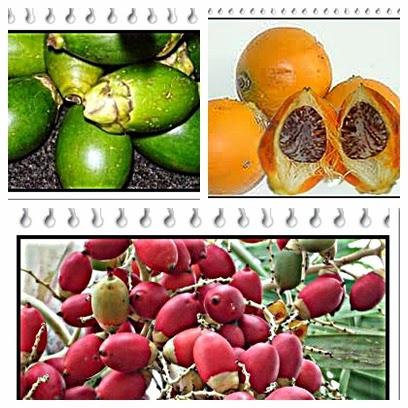pengobatan tradisional dengan buah pinang
