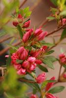 Boboci de rhododendron