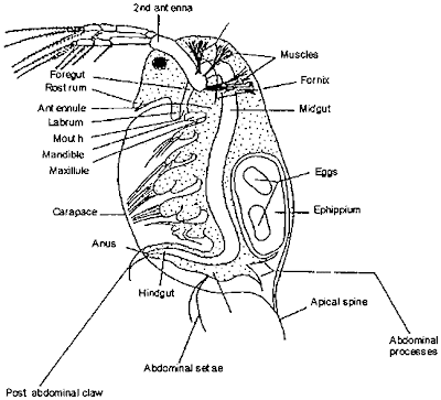 the anatomic description of daphnia or water fleas Daphnia, a genus of small planktonic crustaceans, are 02–5 millimetres (001– 020 in) in length daphnia are members of the order cladocera, and are one of  the several small aquatic crustaceans commonly called water fleas because   anatomy of daphnia overview the five trunk limbs, used in filter-feeding  daphnia.