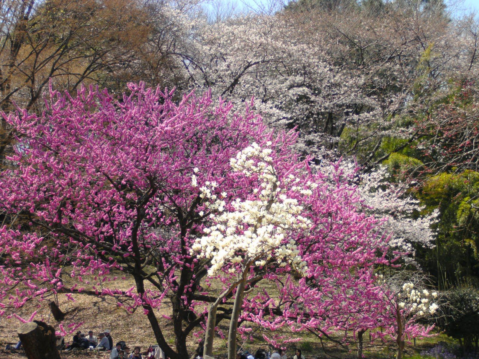 japansk tulipantræ