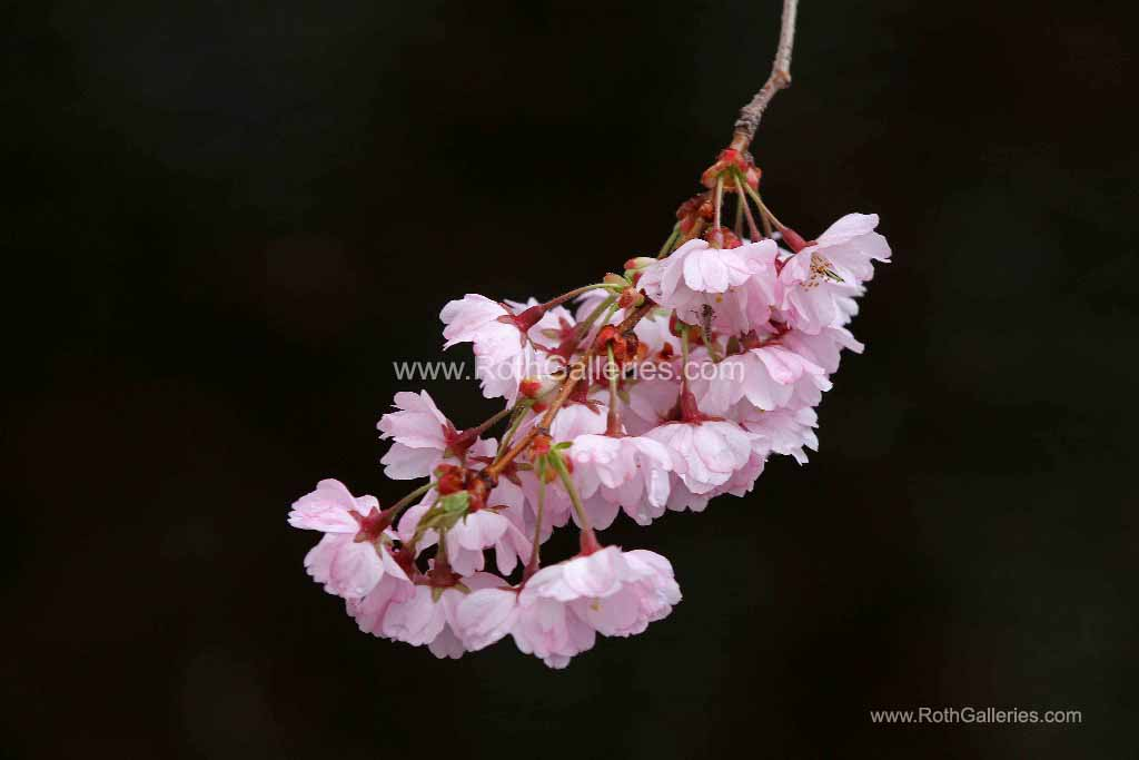 http://juergen-roth.artistwebsites.com/featured/pink-blossom-with-raindrops-juergen-roth.html