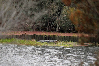 Alligator at Big Lagoon State Park, Pensacola, FL