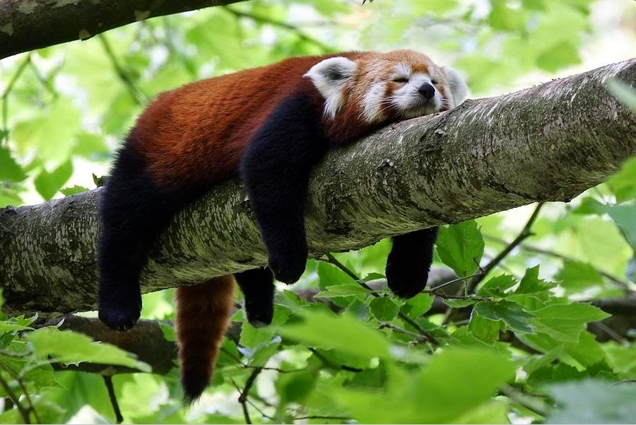 40 Adorable red panda pictures (40 pics), red panda sleeping on tree branch