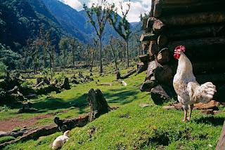 ayam jago berkokok di pagi hari