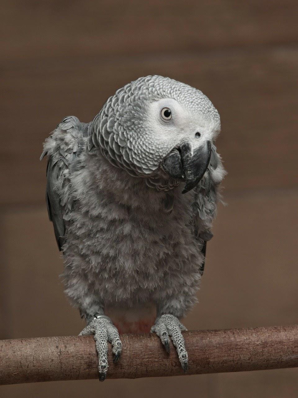 papagáj, állatvilág, beszélő papagáj, Kalifornia, Egyesült Államok,