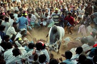 Jallikattu Bull Baiting